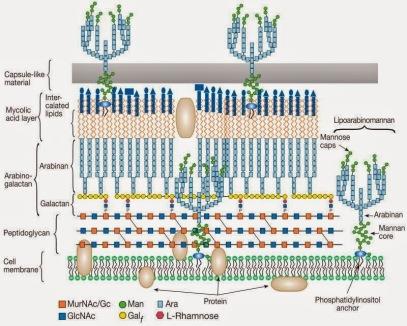 mycobacterium pared celular foto.jpg