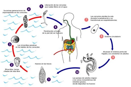 schistosoma mansoni ciclo biologico.jpg