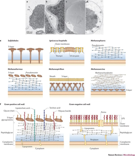 Figure-2-Cell-wall-profiles-of-different-archaeaab-Electron-micrographs-of